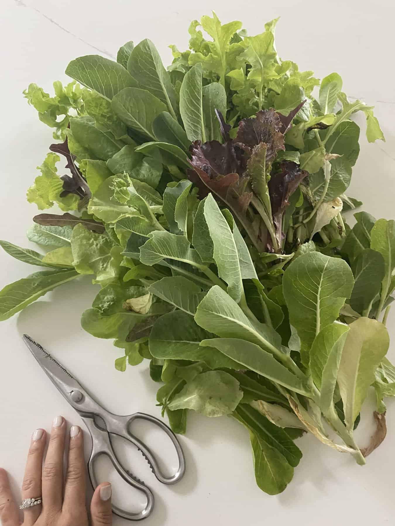 Garden Salad Greens Harvest
